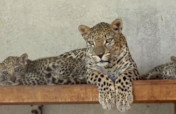 Protecting Arab Leopard in Endangered Yemen