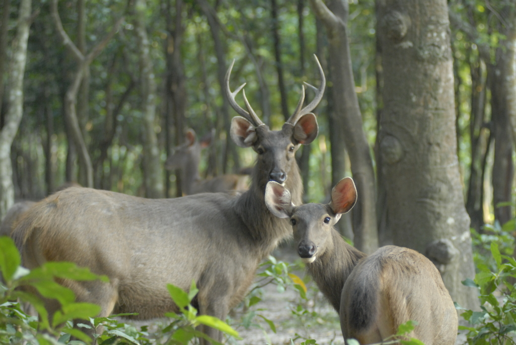 Sambar deer are now listed as Vulnerable