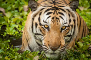 Tigers are functionally extinct in Cambodia.