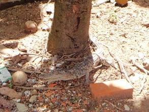Siamese crocodile found tied to a tree