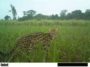 Leopard cats are frequently released and spotted