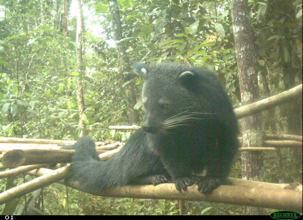 Binturongs or bearcats are listed as Vulnerable
