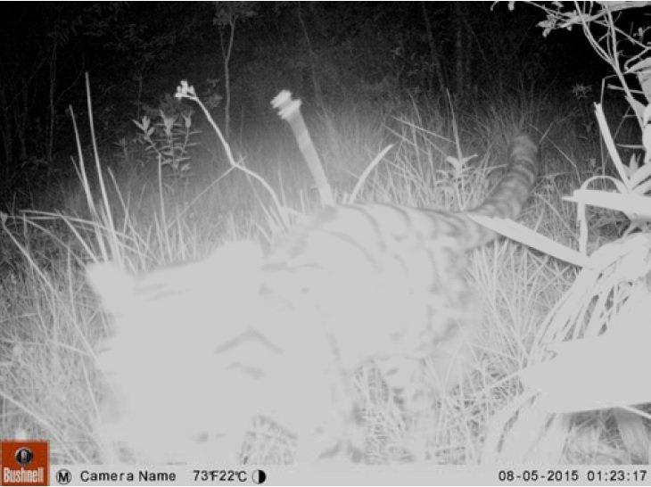 Rare clouded leopard in the Cardamoms