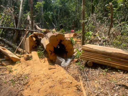 Bust of illegal loggers.