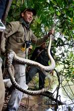 Release of Giant Python