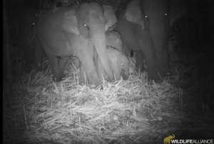 Elephants are returning to Cambodia