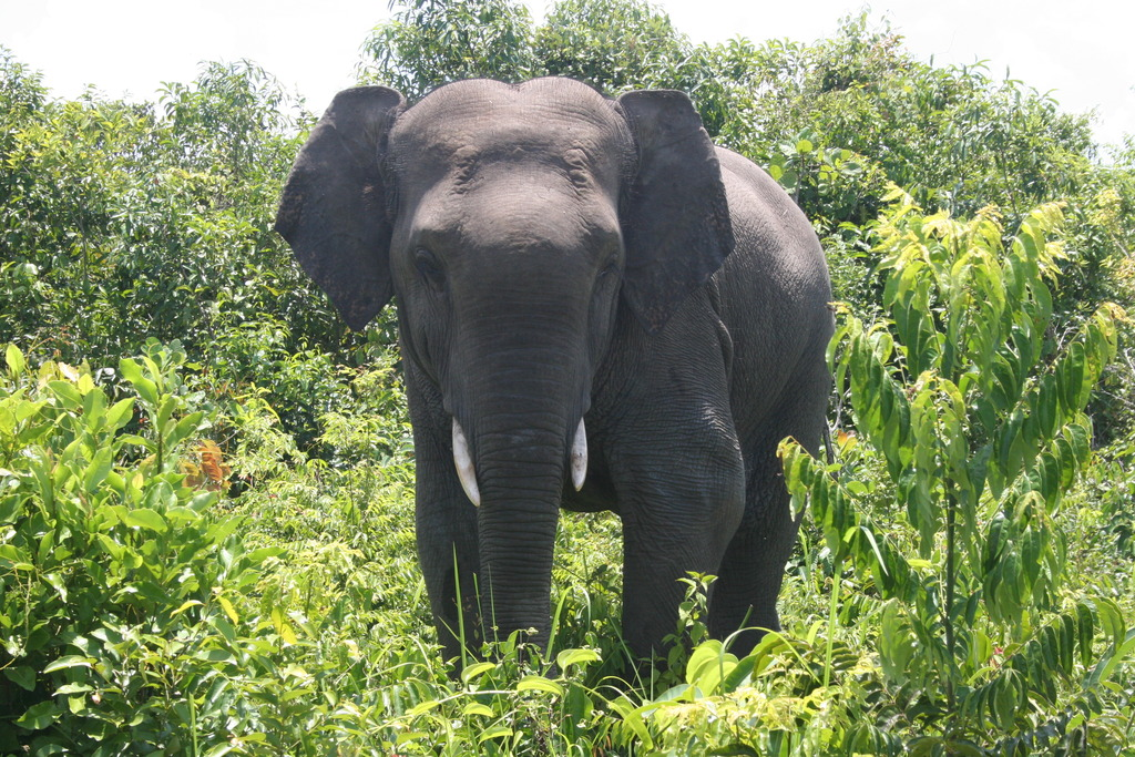 Wild elephant, nicknamed
