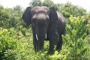 Wild elephant, nicknamed 'Sugar'