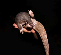 The Pangolin is Listed as Critically Endangered