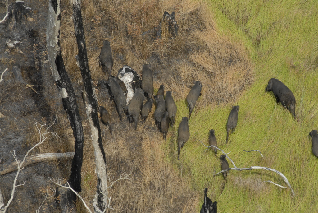 Aerial view of a group of wild boar
