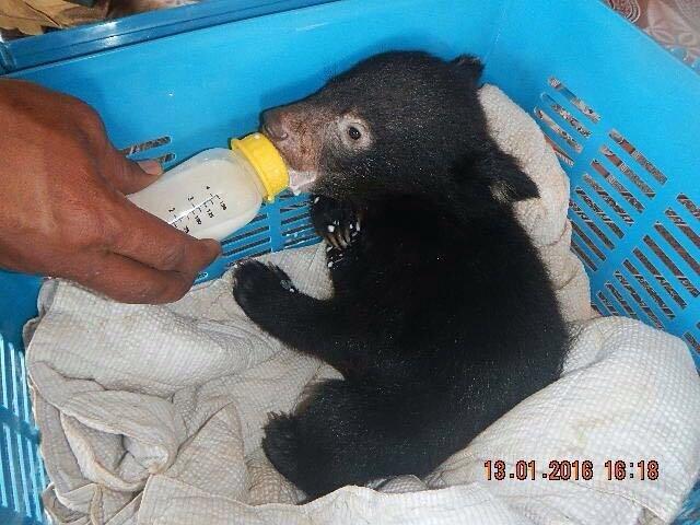 Rescued baby black bear cub