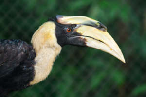 Great hornbills are found flying above