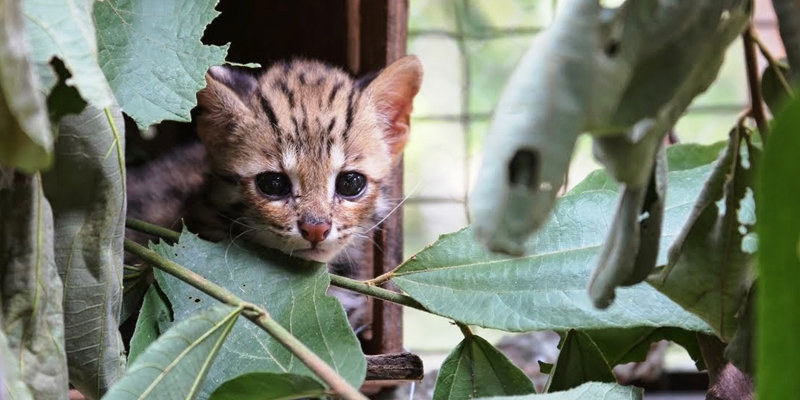 Leopard cat kitten safe after rescue