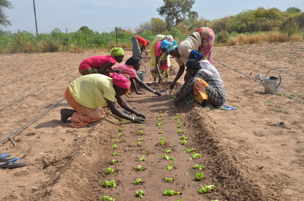 Women planting lettuce in the prepared beds