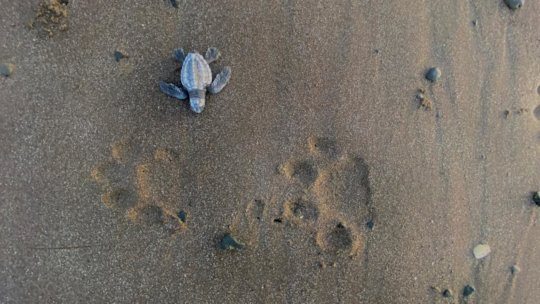 An Olive Ridley sea turtle and jaguar footprints