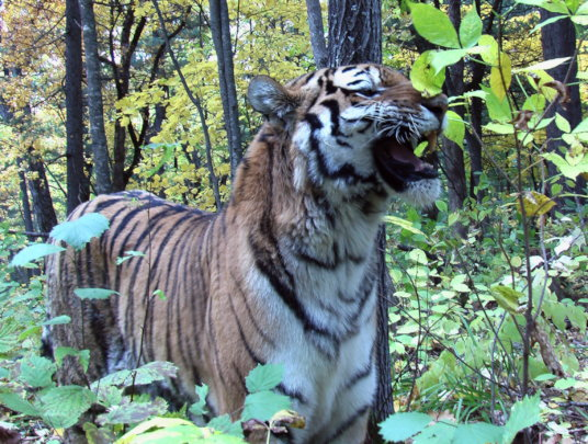 Protect 500 endangered Amur tigers in Russia