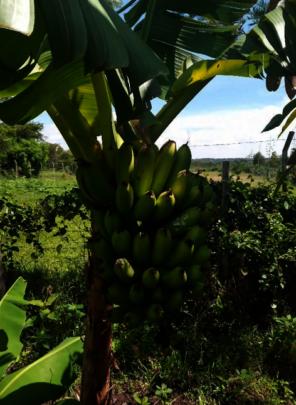 Bananas growing at Akili school farm
