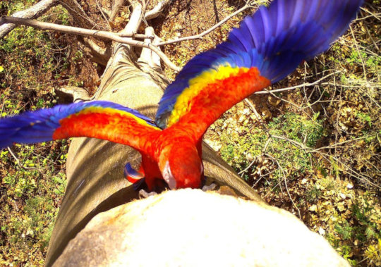 Cyanoptera is a subspecies of the scarlet macaw