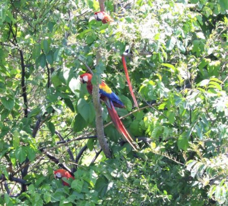 Baby macaw that fledged its nest alongside parents