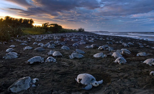 Helping the Olive Ridley Turtles, Costa Rica