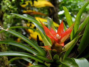 Bromeliad flower at La Reserva