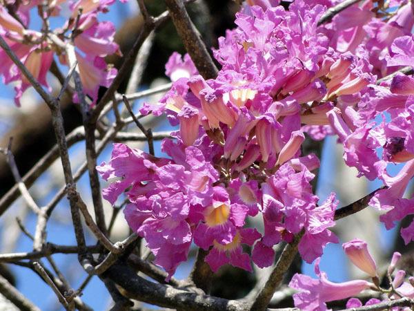 Close up of the Cosrtez Negra flowers