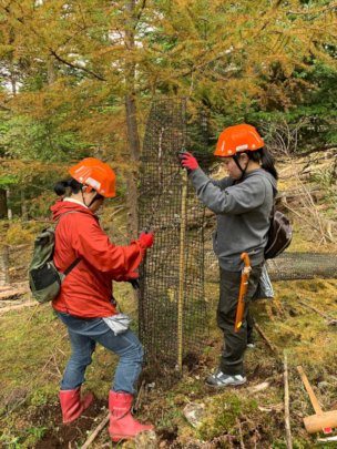 Nets are put to protect the growing tree from deer