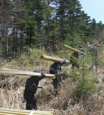 Sub-contracted forest workers hauling bamboo stick