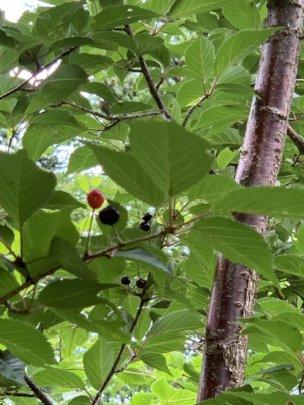 Planted sakura trees are now bearing fruits.