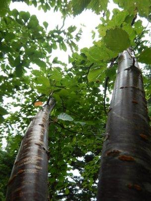 Trunks of the planted sakura tree.