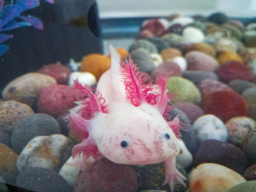 Create a refuge for the Axolotl in Xochimilco