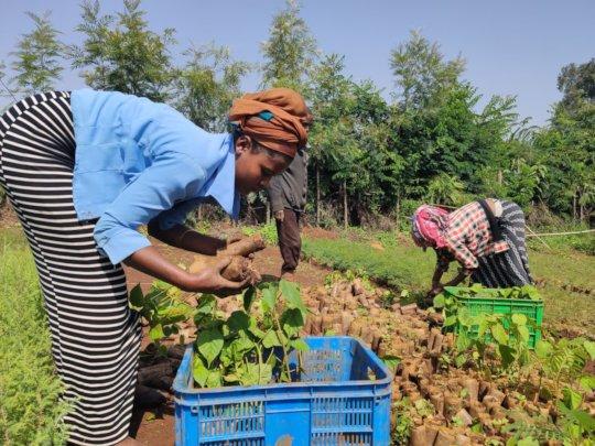 Grading seedlings in the nursery, Amhara