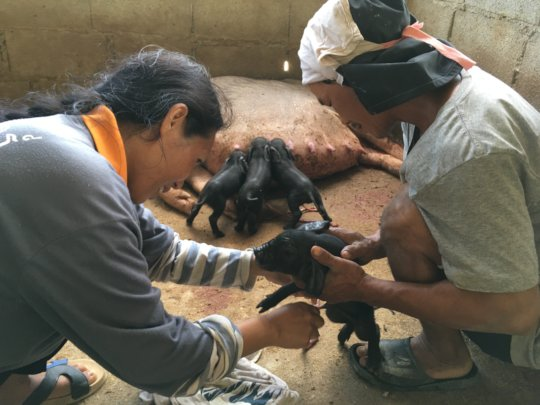 Cahkui and his wife Leah are caring for piglets.