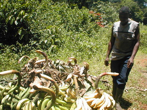 Some of the plantain crop