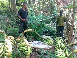 Gilbert and Malvin in plantation harvest