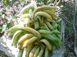 Harvested plantains that has riben