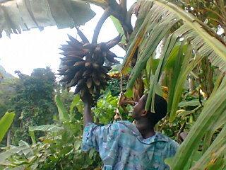 harvesting plantains