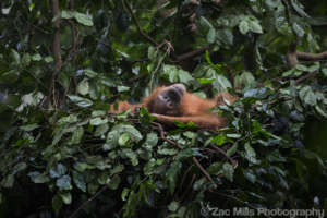 Our ultimate aim: wild orangutans in safe forests