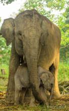 Sumatran Elephants