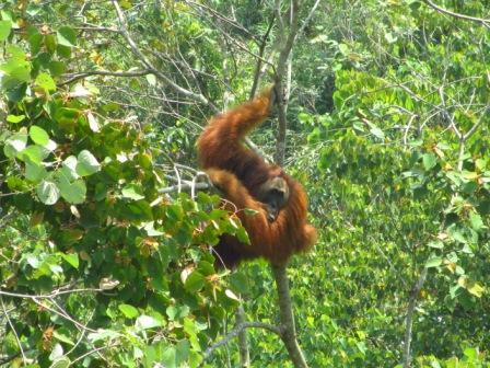 The wild male orangutan in the restoration site