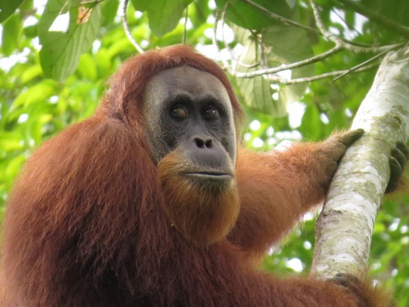 Wild orangutan spotted in the restoration site!