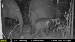 Sumatran elephants travel through restored forest