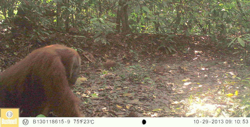 Big male orangutan caught on camera trap