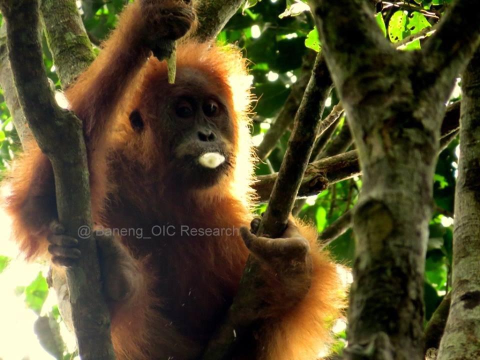 An orangutan feeding in the canopy