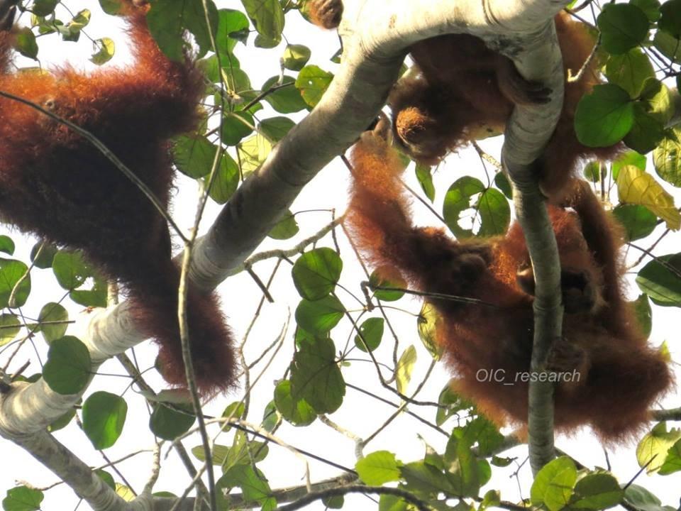 Three orangutans feeding from the same tree