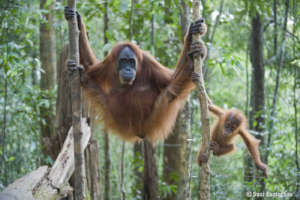 Orangutans need forests. Photo by Suzi Eszterhas.