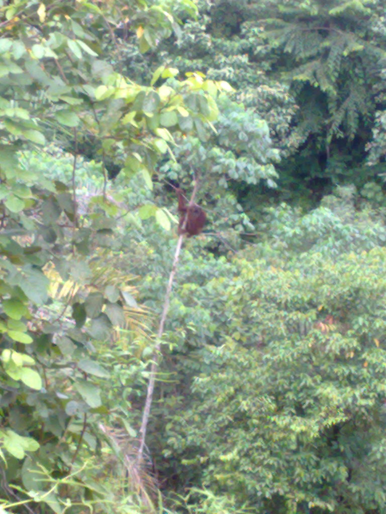 Orangutan spotted in Besitang