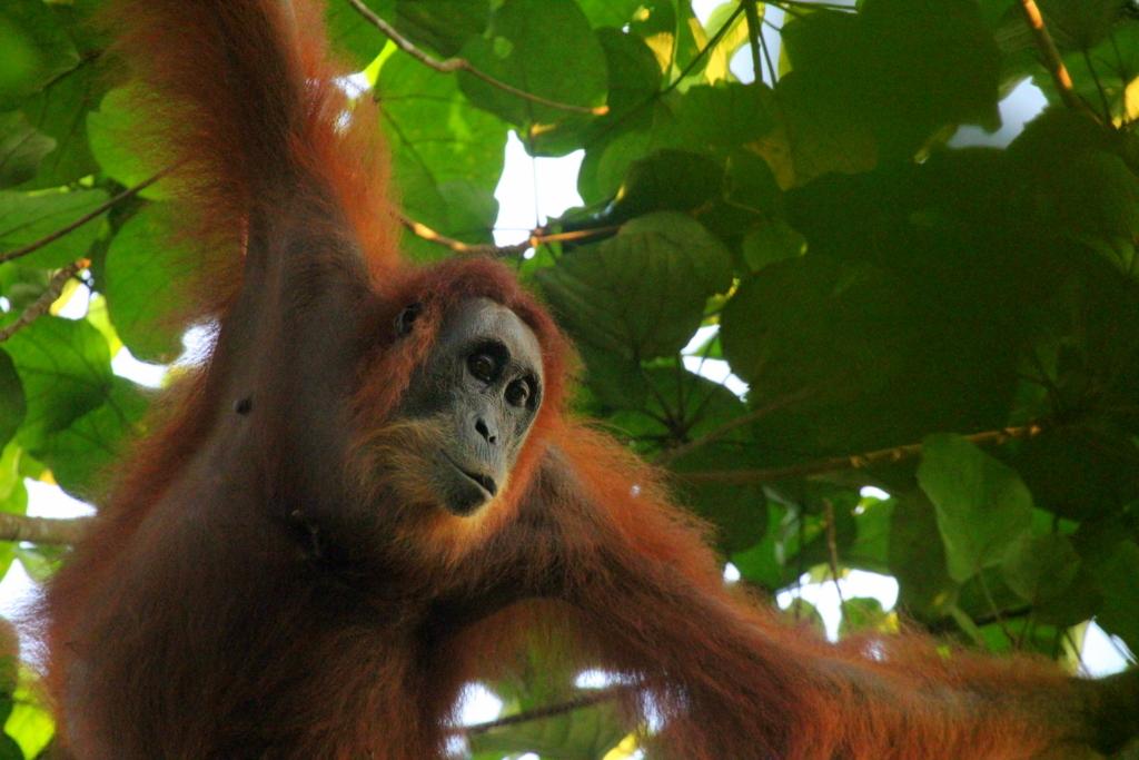 Orangutan spotted this morning!