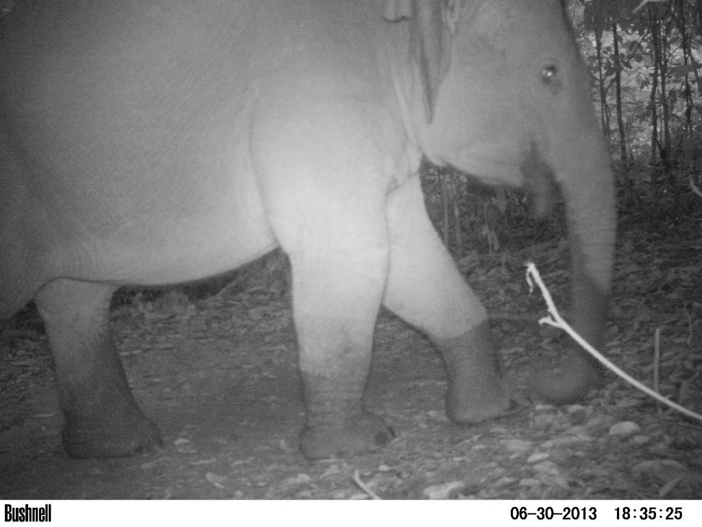 A herd of Sumatran elephants visited the site
