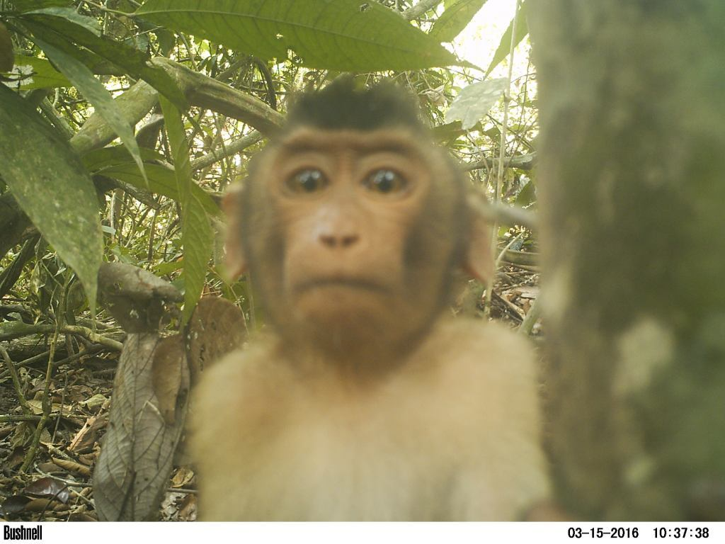 A curious pig-tailed macaque!